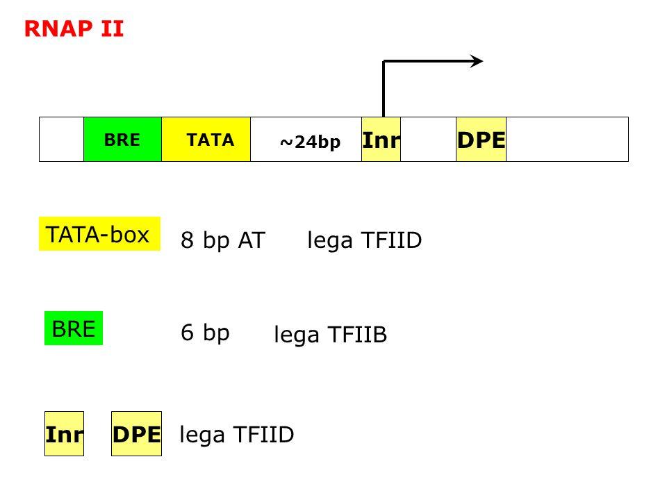 RNAP II Inr DPE TATA-box 8 bp AT lega TFIID BRE 6 bp lega TFIIB Inr