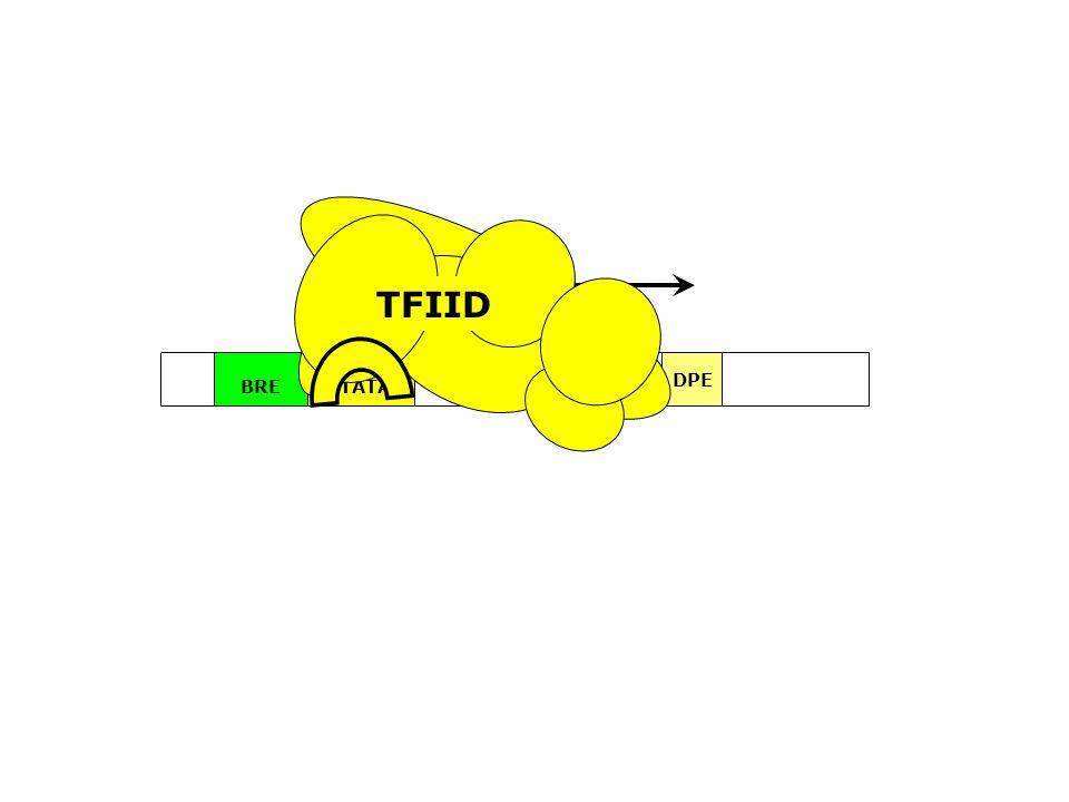 TFIID ~24bp TATA BRE Inr DPE