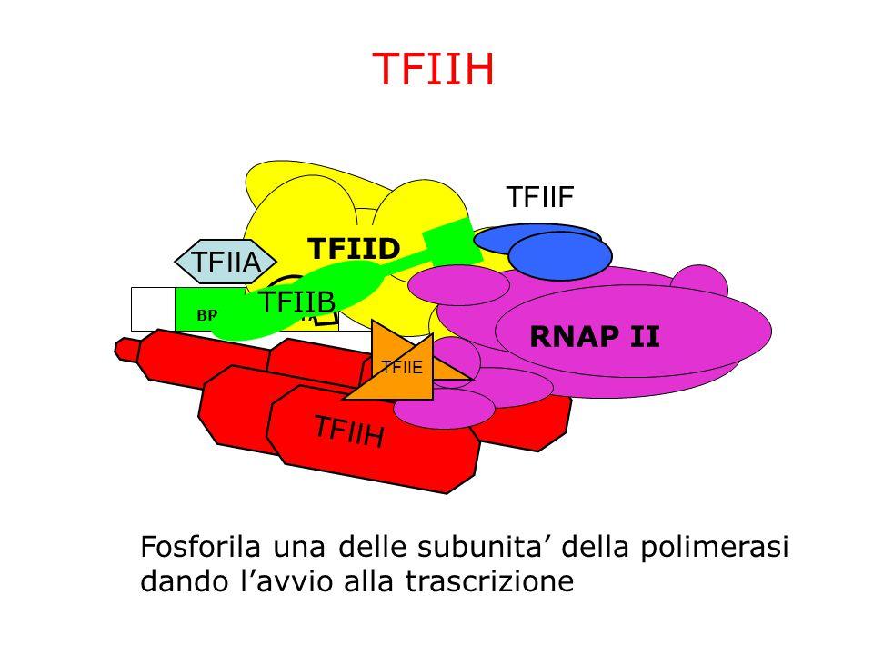 TFIIH TFIIF TFIID TFIIA TFIIB RNAP II TFIIH