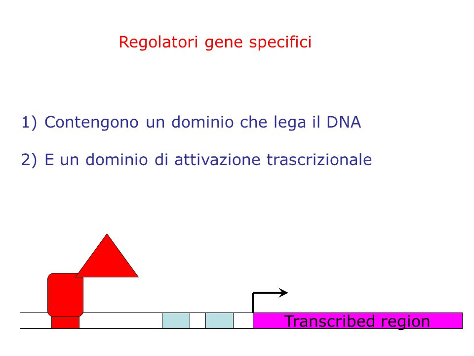 Regolatori gene specifici