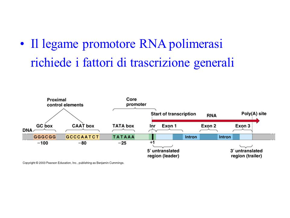 Il legame promotore RNA polimerasi