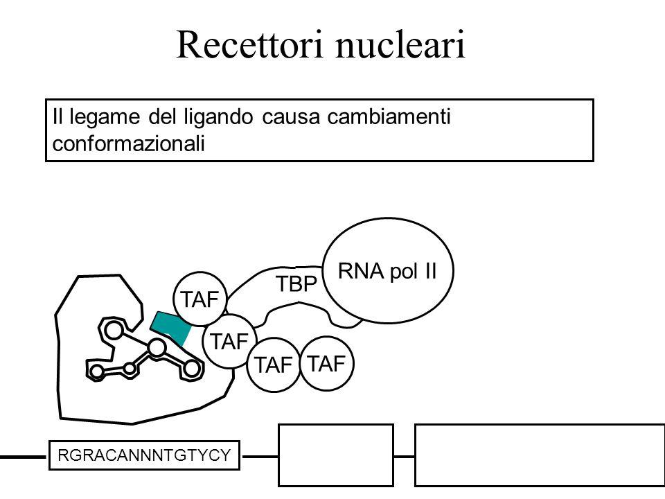 Recettori nucleari Il legame del ligando causa cambiamenti conformazionali. TBP. TAF. RNA pol II.