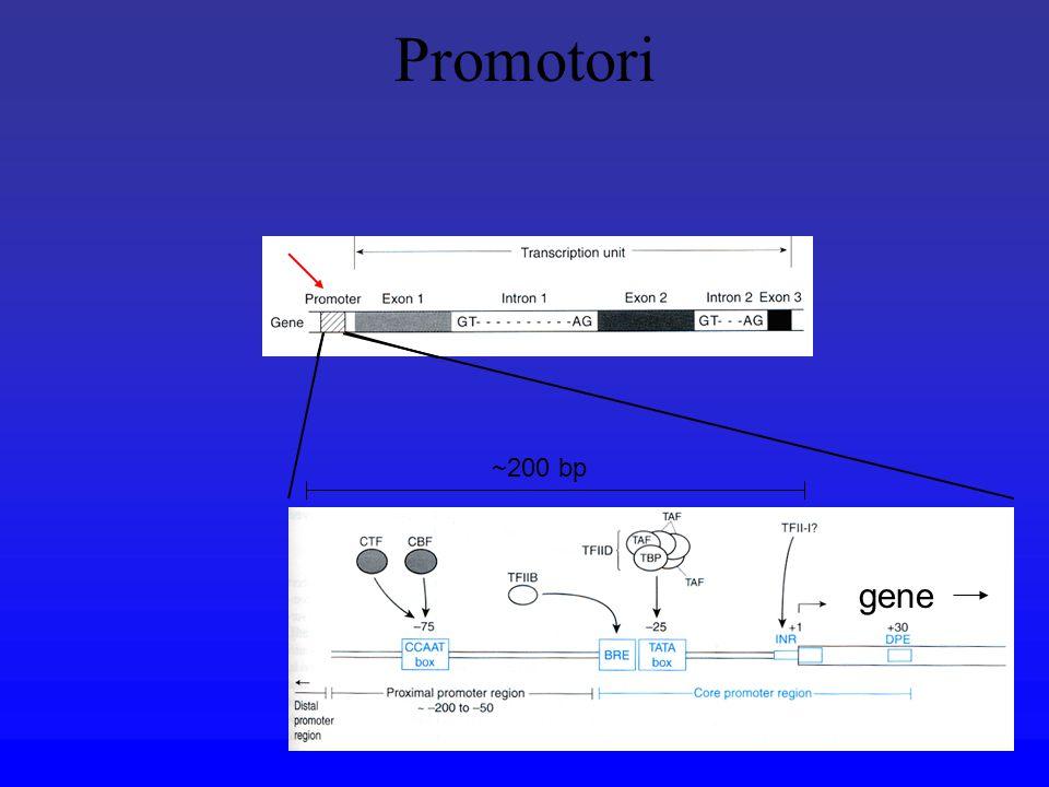 Promotori ~200 bp gene