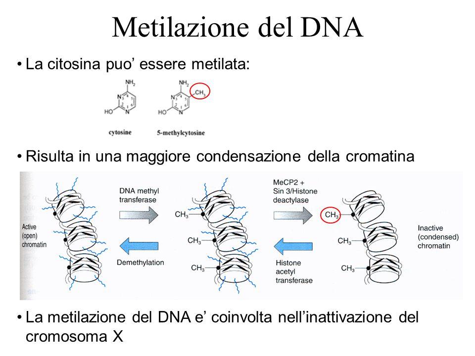 Metilazione del DNA La citosina puo' essere metilata: