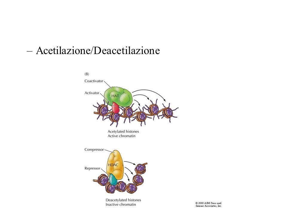 Acetilazione/Deacetilazione