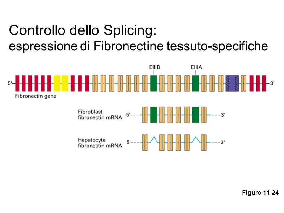 Controllo dello Splicing: espressione di Fibronectine tessuto-specifiche