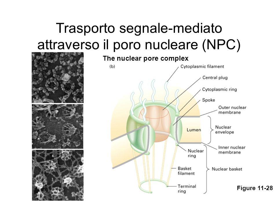 Trasporto segnale-mediato attraverso il poro nucleare (NPC)