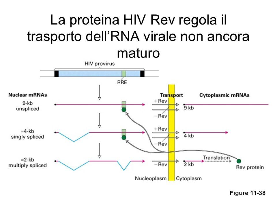 La proteina HIV Rev regola il trasporto dell'RNA virale non ancora maturo