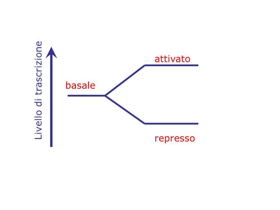 attivato basale Livello di trascrizione represso
