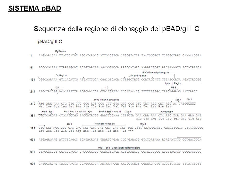 SISTEMA pBAD Sequenza della regione di clonaggio del pBAD/gIII C