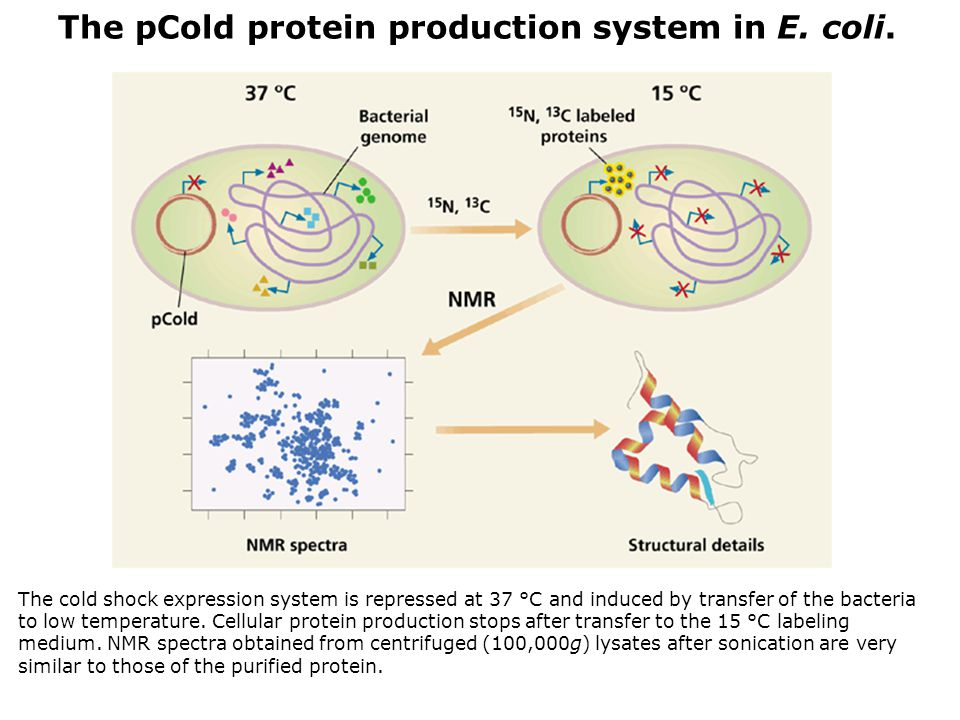 The pCold protein production system in E. coli.
