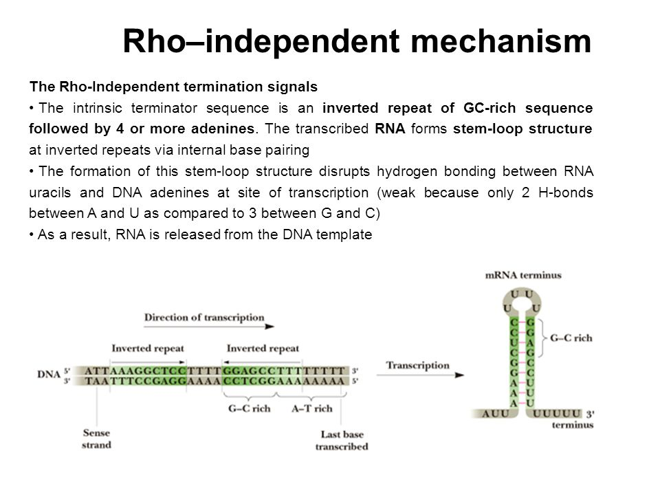 Rho–independent mechanism
