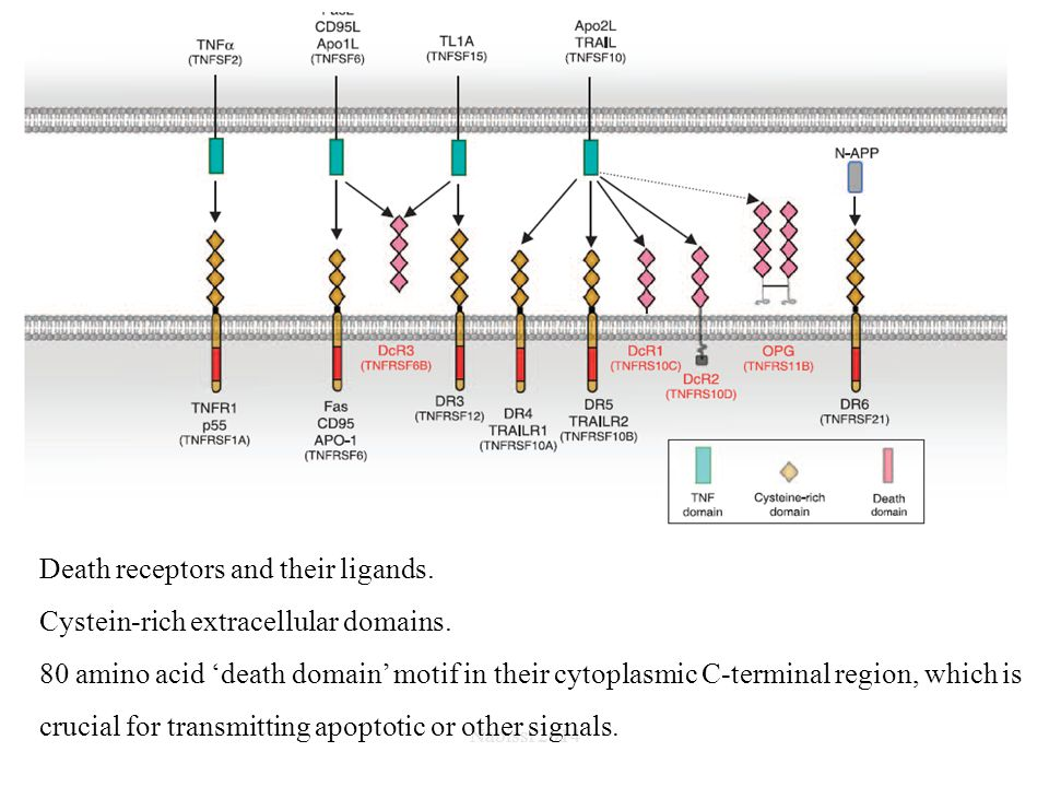 Death receptors and their ligands. Cystein-rich extracellular domains.