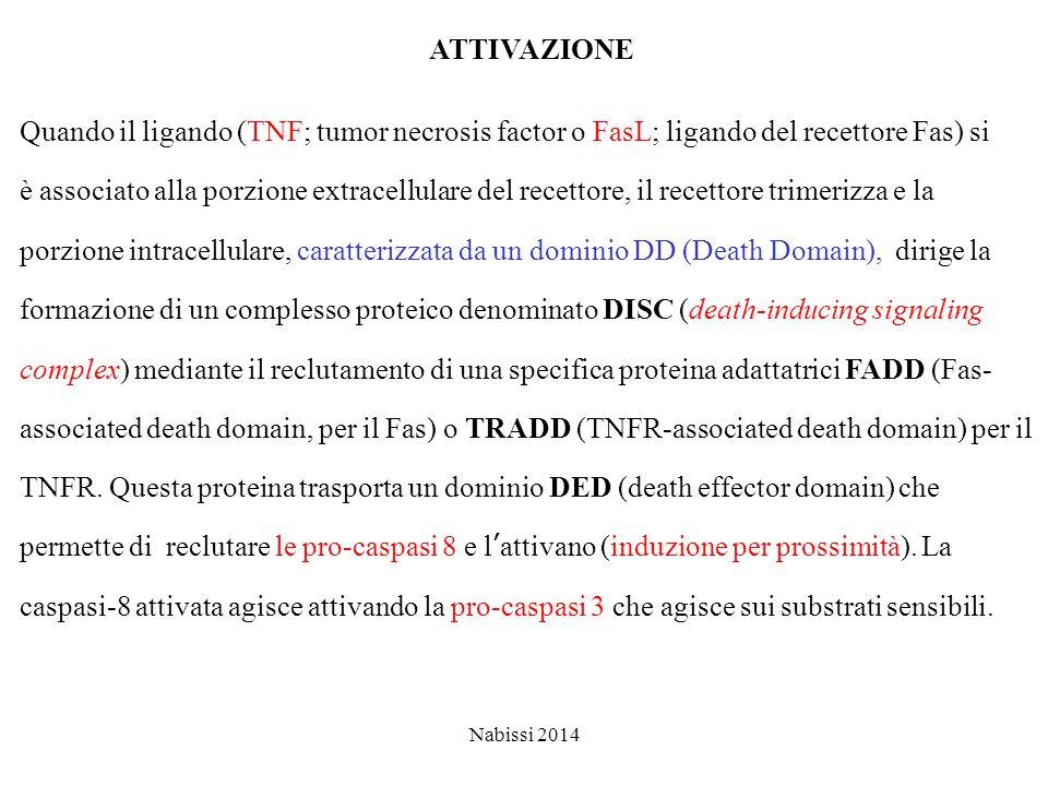 ATTIVAZIONE Quando il ligando (TNF; tumor necrosis factor o FasL; ligando del recettore Fas) si.