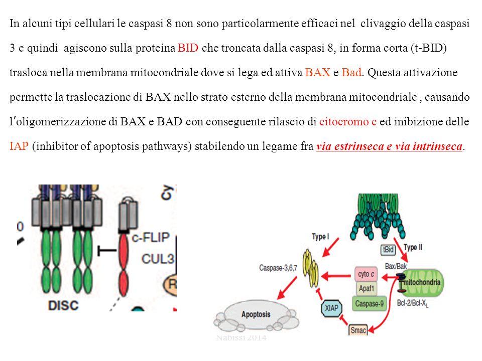 In alcuni tipi cellulari le caspasi 8 non sono particolarmente efficaci nel clivaggio della caspasi 3 e quindi agiscono sulla proteina BID che troncata dalla caspasi 8, in forma corta (t-BID) trasloca nella membrana mitocondriale dove si lega ed attiva BAX e Bad. Questa attivazione permette la traslocazione di BAX nello strato esterno della membrana mitocondriale , causando l'oligomerizzazione di BAX e BAD con conseguente rilascio di citocromo c ed inibizione delle IAP (inhibitor of apoptosis pathways) stabilendo un legame fra via estrinseca e via intrinseca.