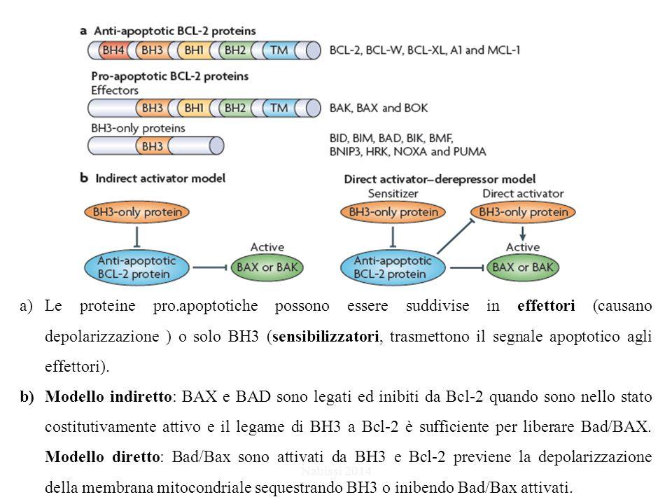 Le proteine pro.apoptotiche possono essere suddivise in effettori (causano depolarizzazione ) o solo BH3 (sensibilizzatori, trasmettono il segnale apoptotico agli effettori).