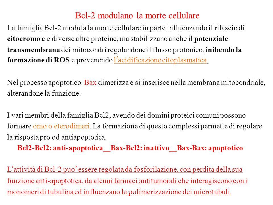 Bcl-2 modulano la morte cellulare