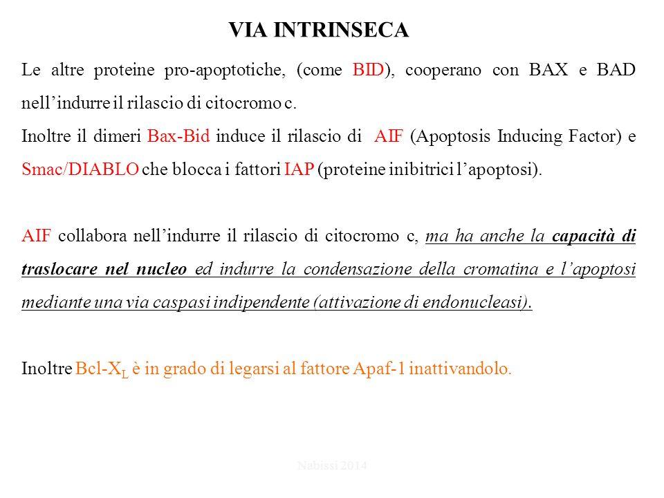 VIA INTRINSECA Le altre proteine pro-apoptotiche, (come BID), cooperano con BAX e BAD nell'indurre il rilascio di citocromo c.