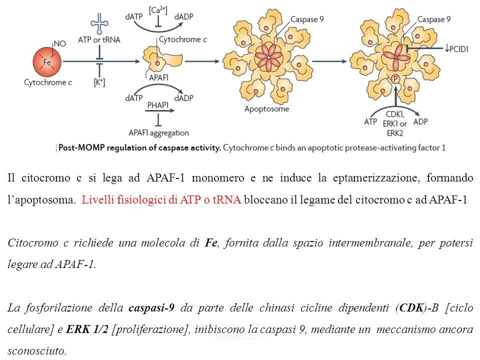 Il citocromo c si lega ad APAF-1 monomero e ne induce la eptamerizzazione, formando l'apoptosoma. Livelli fisiologici di ATP o tRNA bloccano il legame del citocromo c ad APAF-1
