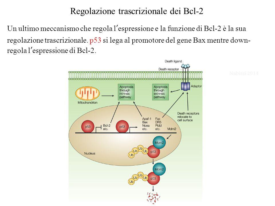 Regolazione trascrizionale dei Bcl-2