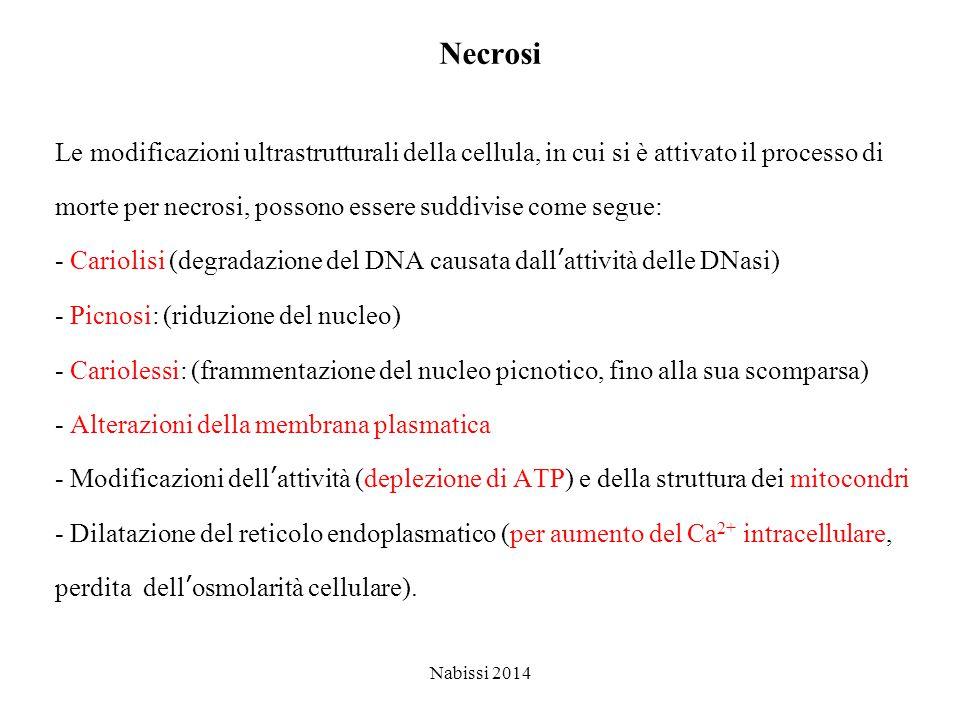 Necrosi Le modificazioni ultrastrutturali della cellula, in cui si è attivato il processo di.