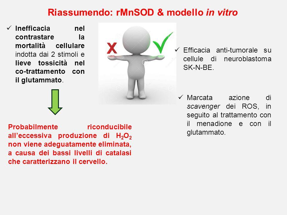 Riassumendo: rMnSOD & modello in vitro