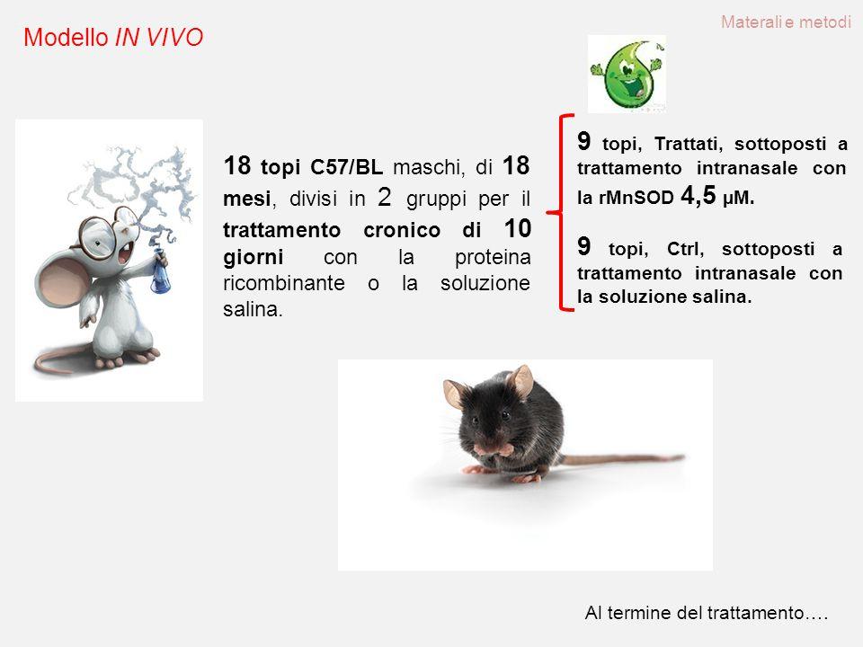 Materali e metodi Modello IN VIVO. 9 topi, Trattati, sottoposti a trattamento intranasale con la rMnSOD 4,5 µM.