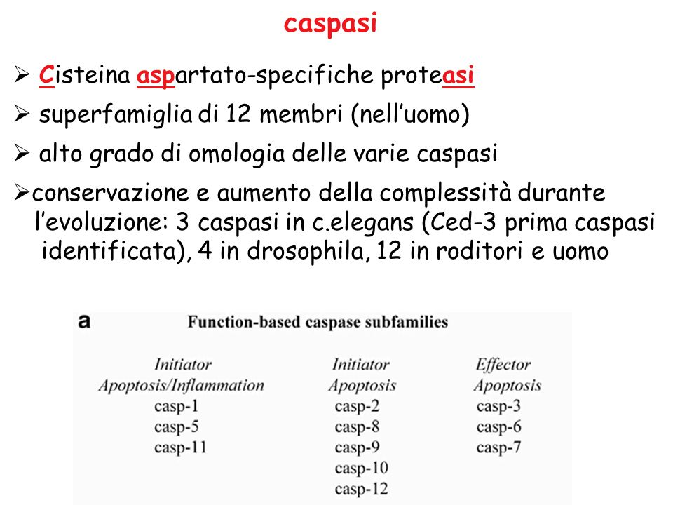 caspasi Cisteina aspartato-specifiche proteasi