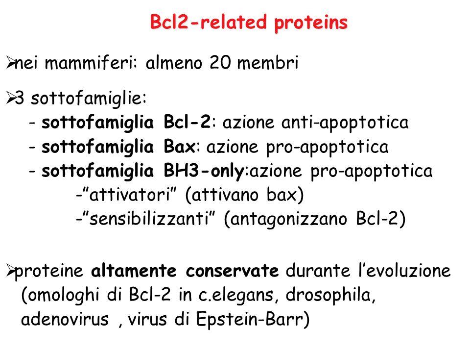 Bcl2-related proteins nei mammiferi: almeno 20 membri 3 sottofamiglie:
