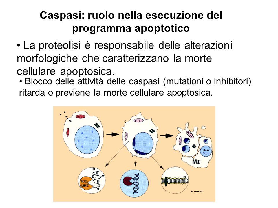 Caspasi: ruolo nella esecuzione del programma apoptotico