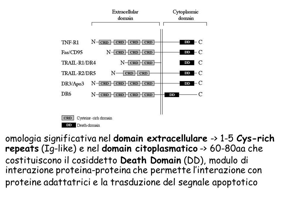 omologia significativa nel domain extracellulare -> 1-5 Cys-rich repeats (Ig-like) e nel domain citoplasmatico -> 60-80aa che