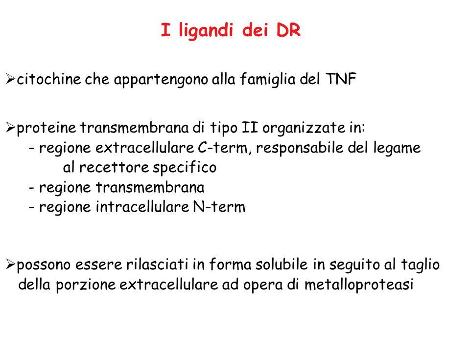 I ligandi dei DR citochine che appartengono alla famiglia del TNF