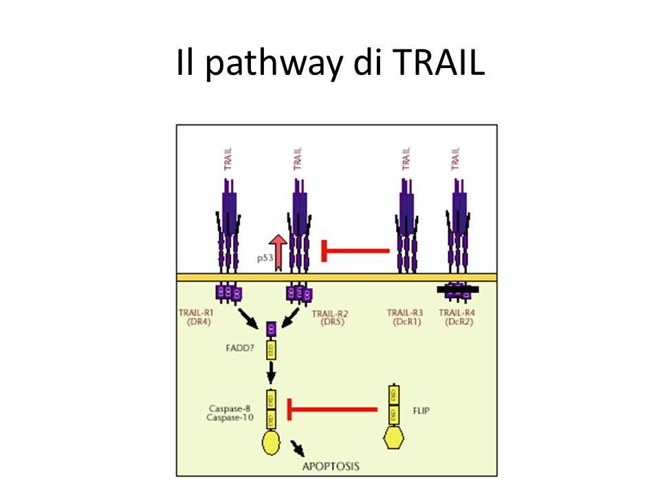 Il pathway di TRAIL