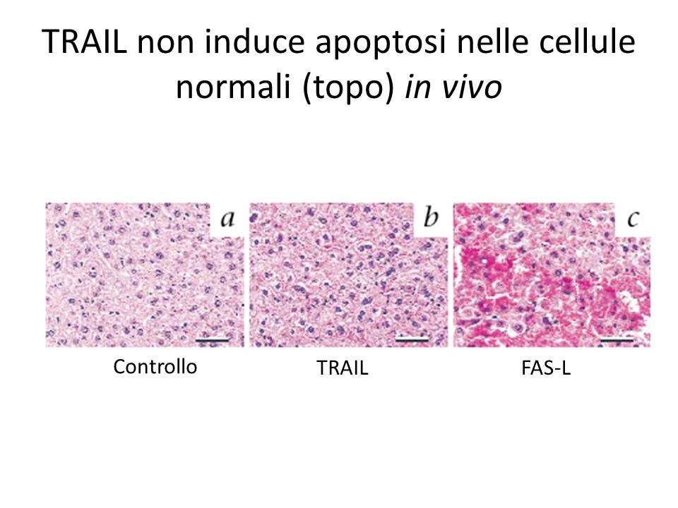 TRAIL non induce apoptosi nelle cellule normali (topo) in vivo