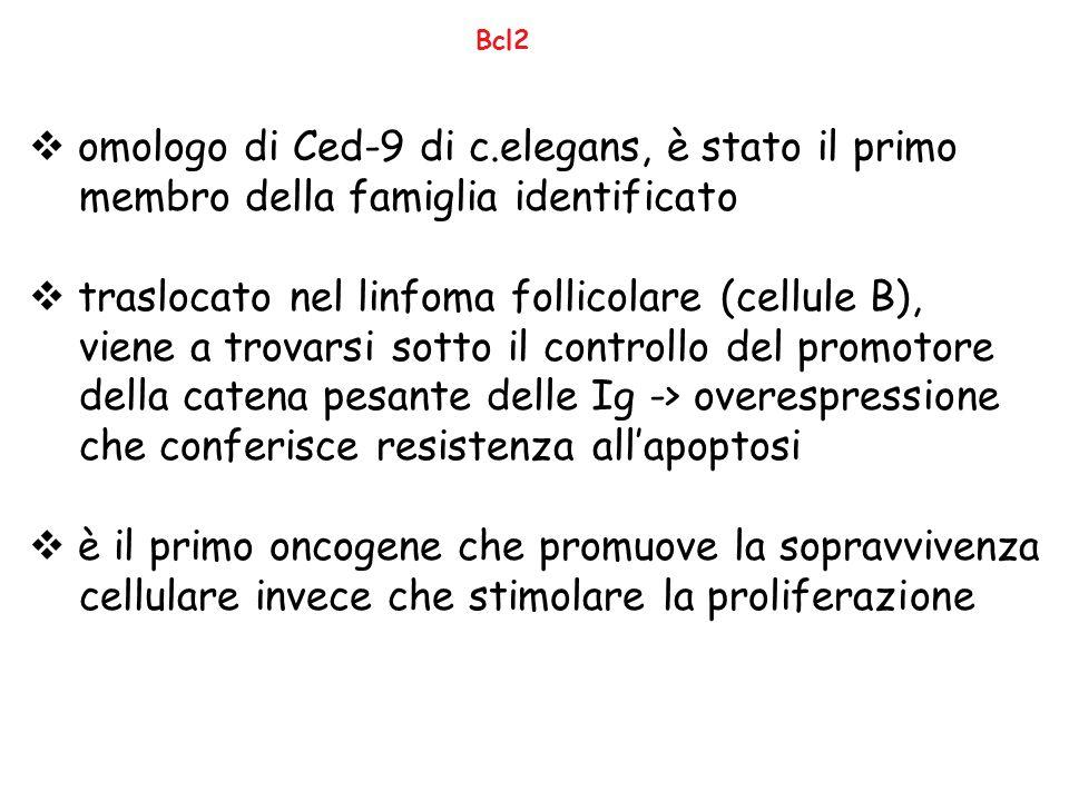omologo di Ced-9 di c.elegans, è stato il primo