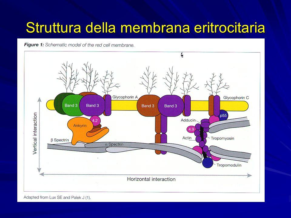 Struttura della membrana eritrocitaria