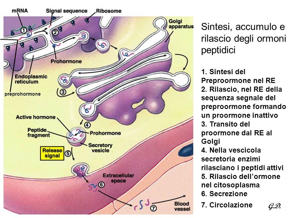 Sintesi, accumulo e rilascio degli ormoni peptidici