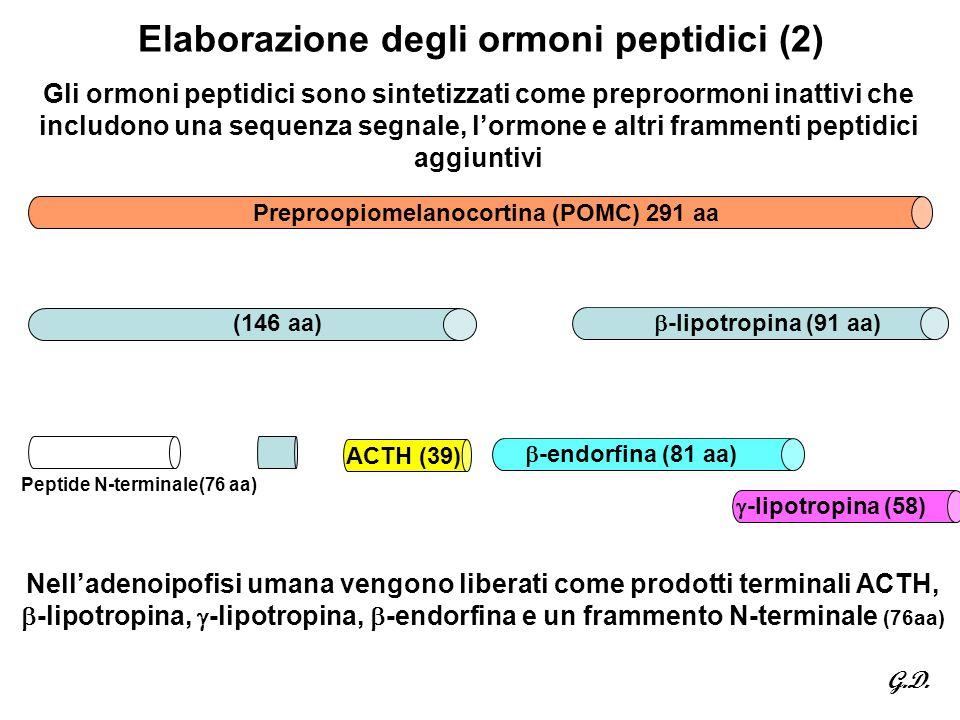 Elaborazione degli ormoni peptidici (2)