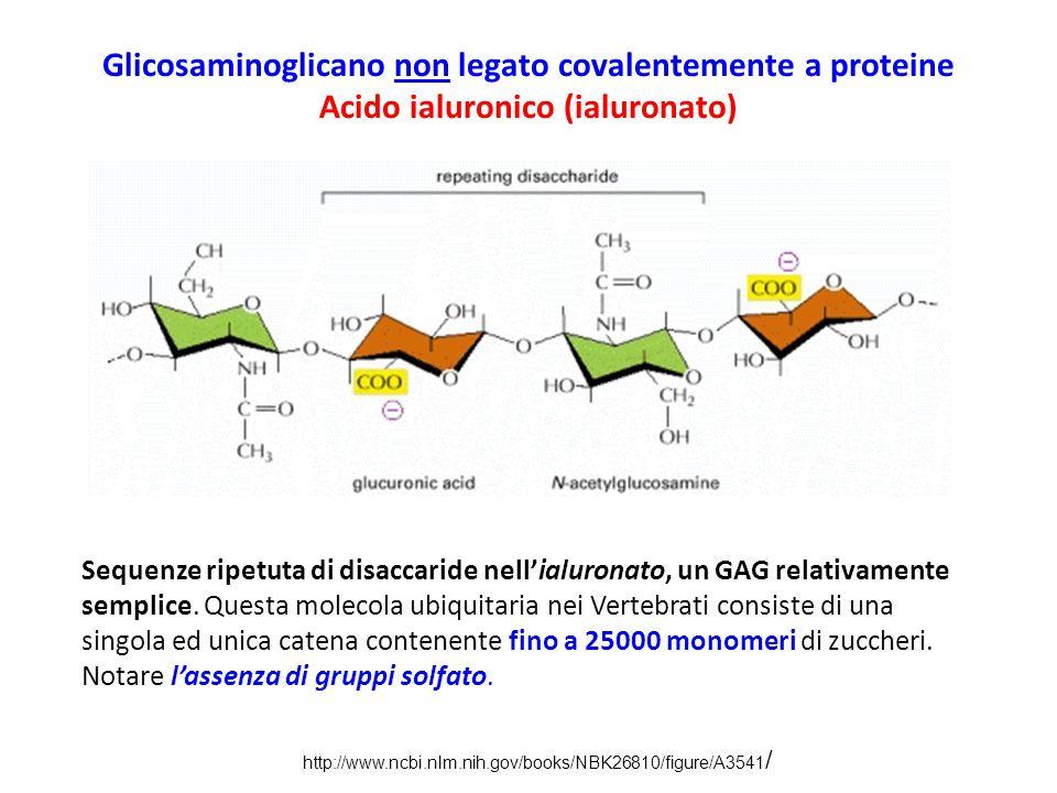 Glicosaminoglicano non legato covalentemente a proteine Acido ialuronico (ialuronato)