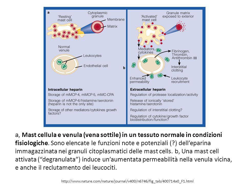 a, Mast cellula e venula (vena sottile) in un tessuto normale in condizioni fisiologiche. Sono elencate le funzioni note e potenziali ( ) dell'eparina immagazzinata nei granuli citoplasmatici delle mast cells. b, Una mast cell attivata ( degranulata ) induce un'aumentata permeabilità nella venula vicina, e anche il reclutamento dei leucociti.