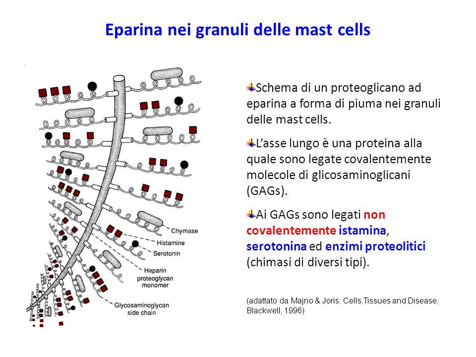 Eparina nei granuli delle mast cells