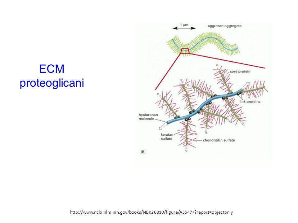 ECM proteoglicani http://www.ncbi.nlm.nih.gov/books/NBK26810/figure/A3547/ report=objectonly