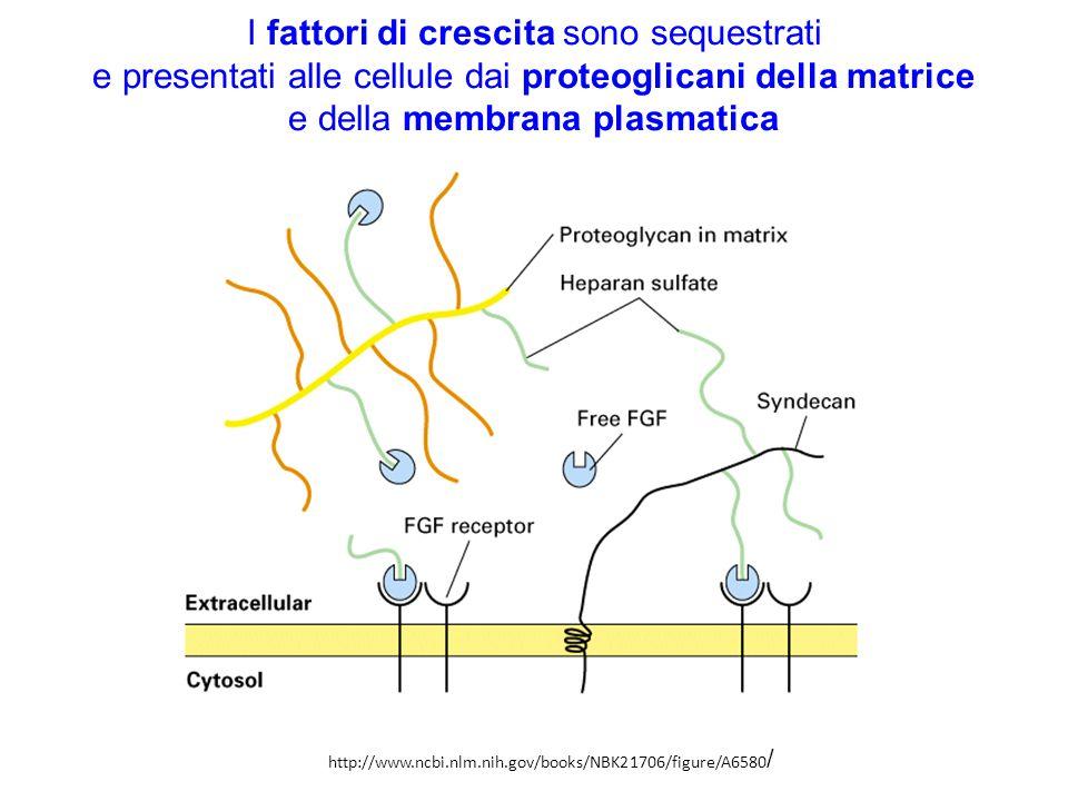 I fattori di crescita sono sequestrati e presentati alle cellule dai proteoglicani della matrice e della membrana plasmatica