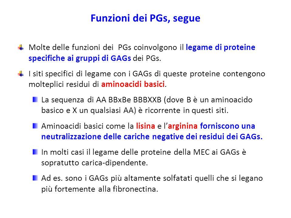 Funzioni dei PGs, segue Molte delle funzioni dei PGs coinvolgono il legame di proteine specifiche ai gruppi di GAGs dei PGs.