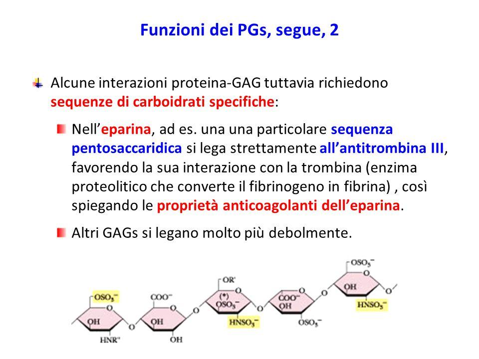 Funzioni dei PGs, segue, 2 Alcune interazioni proteina-GAG tuttavia richiedono sequenze di carboidrati specifiche: