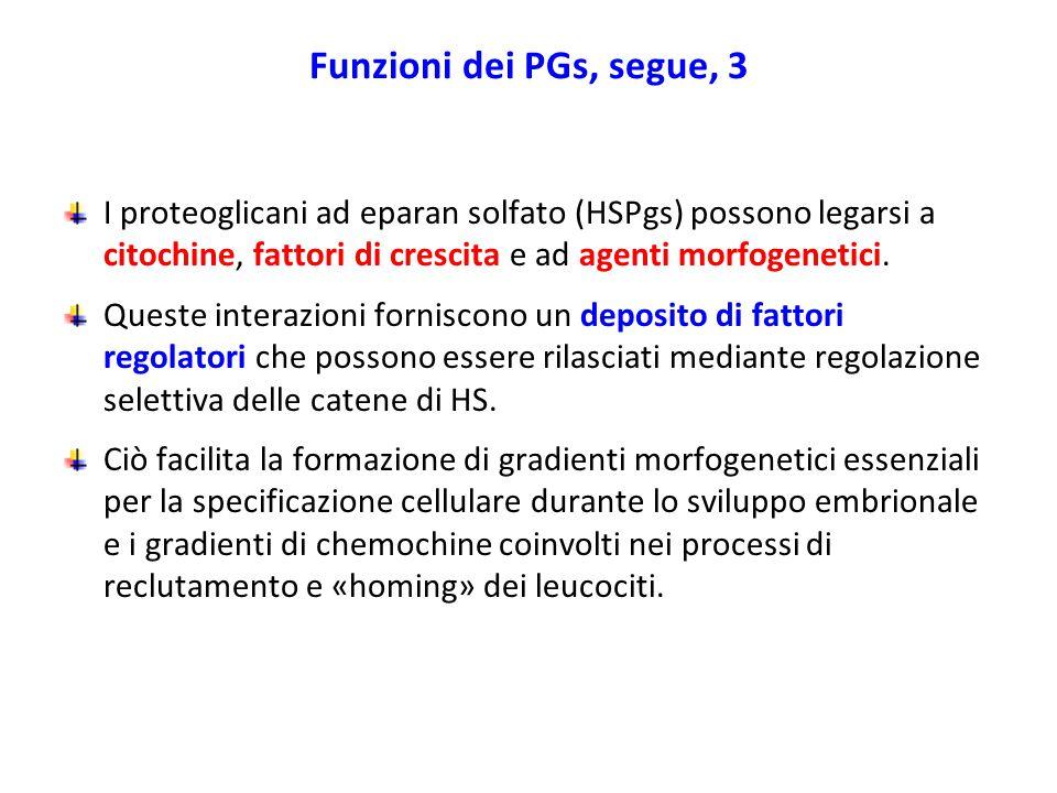 Funzioni dei PGs, segue, 3 I proteoglicani ad eparan solfato (HSPgs) possono legarsi a citochine, fattori di crescita e ad agenti morfogenetici.