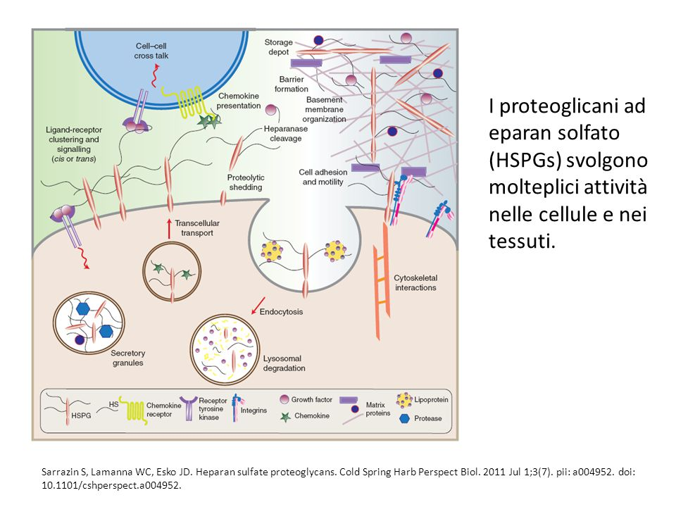 I proteoglicani ad eparan solfato (HSPGs) svolgono molteplici attività nelle cellule e nei tessuti.