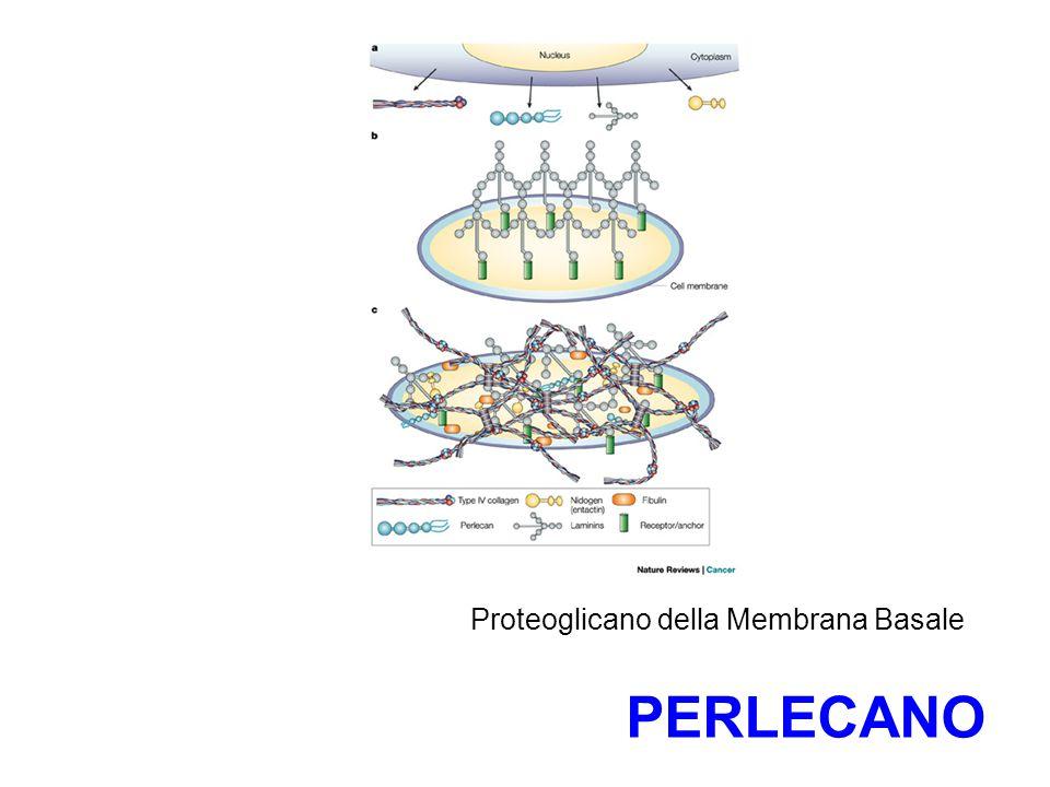 Proteoglicano della Membrana Basale