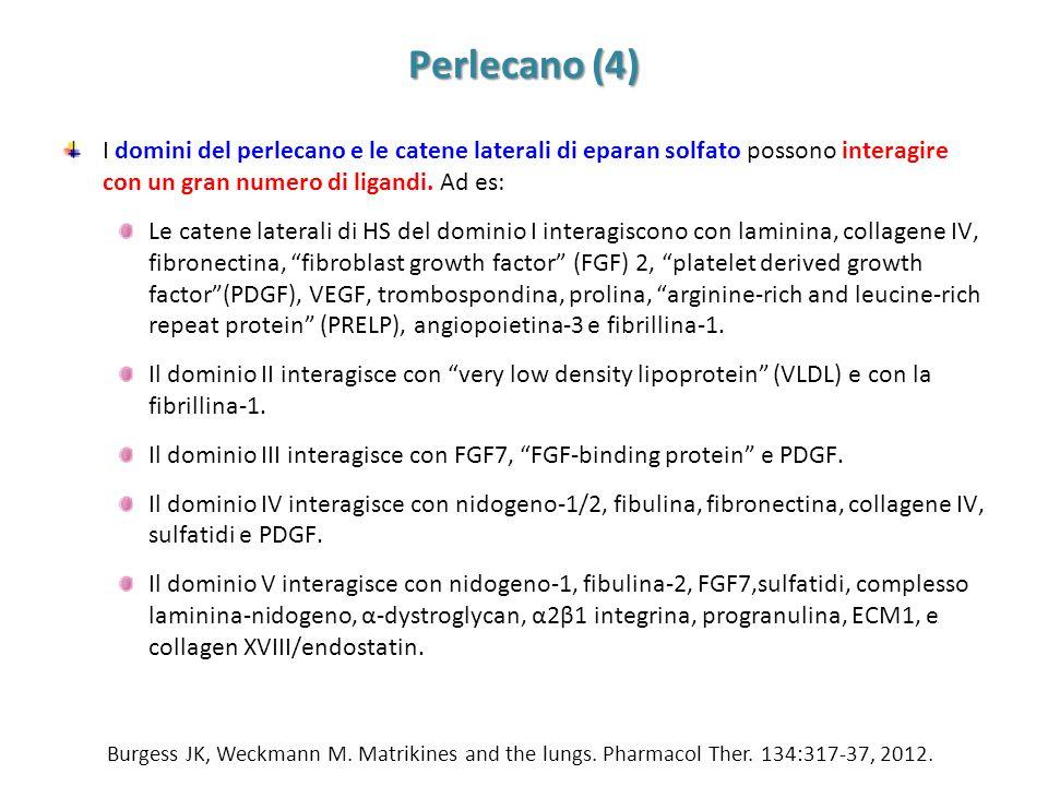 Perlecano (4) I domini del perlecano e le catene laterali di eparan solfato possono interagire con un gran numero di ligandi. Ad es: