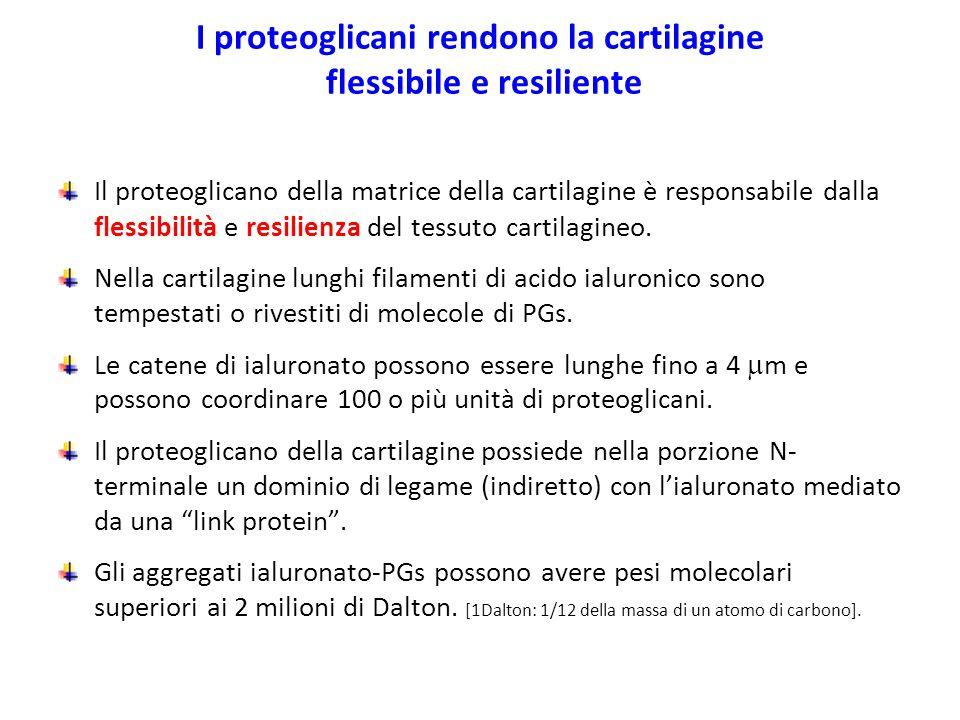 I proteoglicani rendono la cartilagine flessibile e resiliente